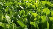 北方夏季小白菜栽培技术