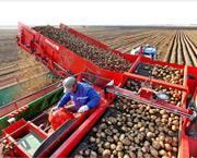 小土豆还可以这样收?