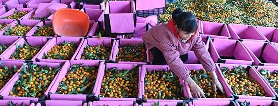 广西融安:小金桔撑起产值5亿元大产业