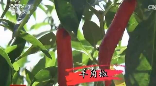 种完水稻种辣椒