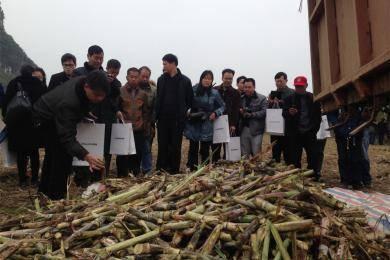 """演示会现场观众查看""""谷王""""AS60甘蔗机对甘蔗杆的切段效果。"""
