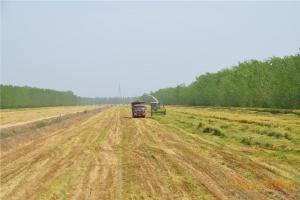 美迪9QZ系列自走式青饲料收获机作业现场,无行距收割,可收割倒伏作物。
