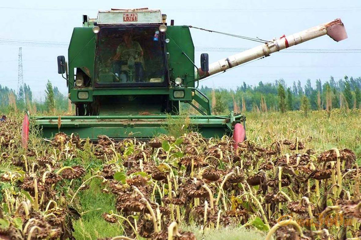 新疆焉耆农民用收割机采收向日葵