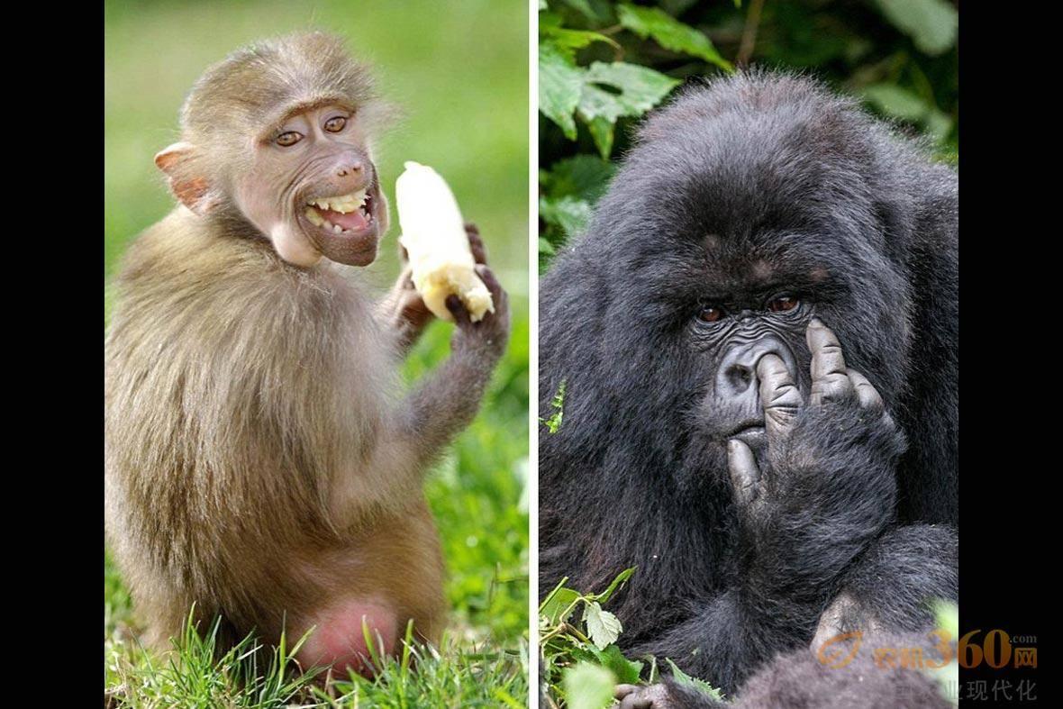 它们生活在马达加斯加岛上