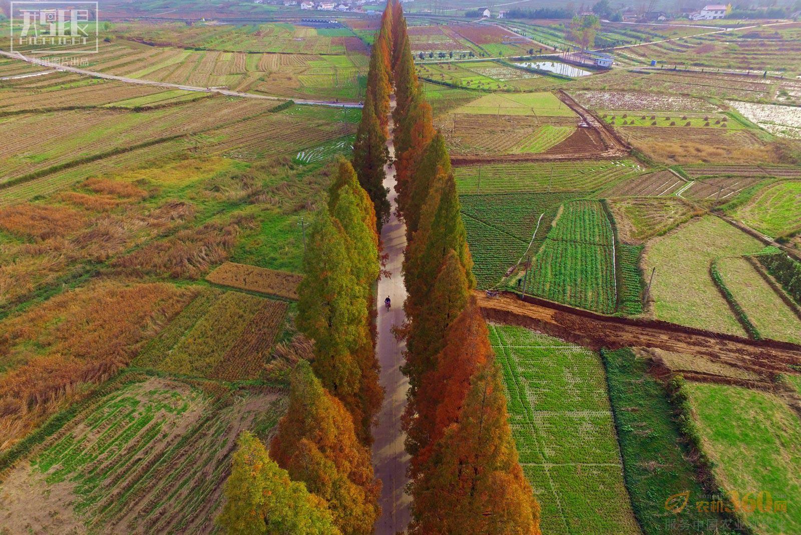2015年11月16日,陕西汉中汉台区徐望镇,两排水杉树伸向远方.