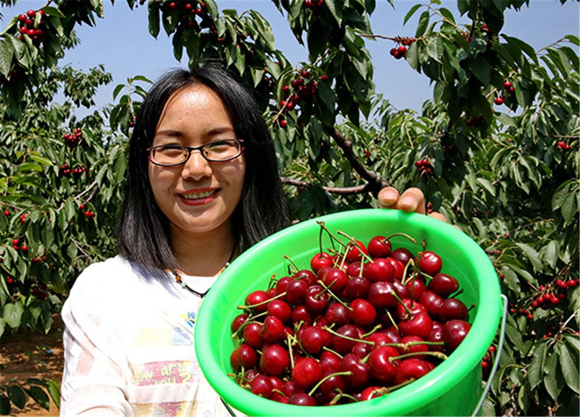 秦皇岛市山海关区毛家沟村果农在展示刚采摘的大樱桃.