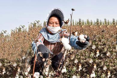 新疆塔里木盆地棉花采摘场景