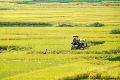 广西贺州市鹅塘镇鹅塘村农民在使用收割机收割晚稻.