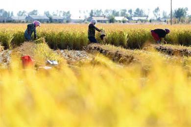 """吉林""""黄金水稻""""丰收在即"""