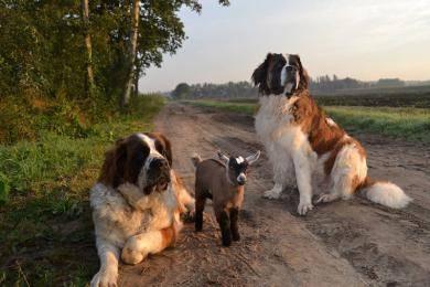 """暖心!比利时农场圣伯纳犬""""抚养""""小羊羔"""