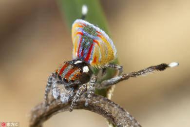 澳洲生物学家拍孔雀蜘蛛 颜色绚丽十分惊艳