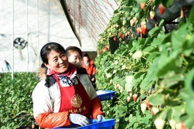 小草莓 大产业