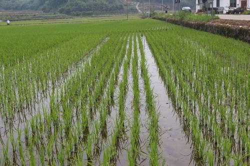 长江中下游中稻育插秧技术意见