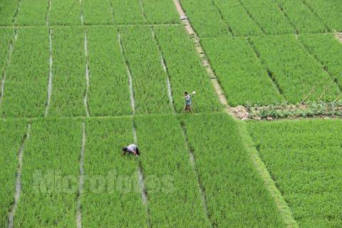 南方双季晚稻田间管理和防灾减灾技术意见