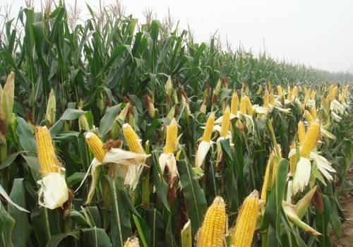 玉米种植收益基本稳定