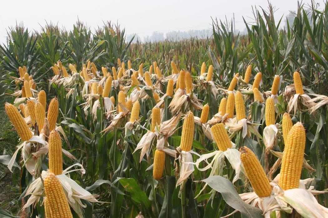 结构调整遇难题:内蒙古农民种玉米热情难消减