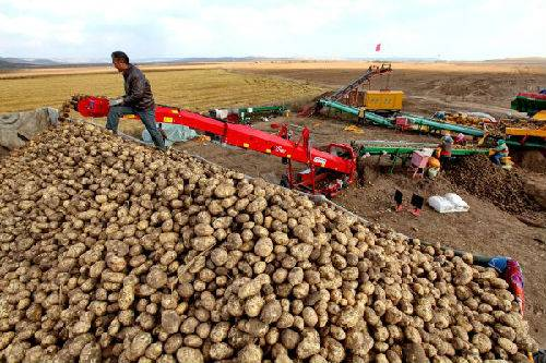 中国掀马铃薯革命 马铃薯成为水稻小麦玉米之后第四大主粮