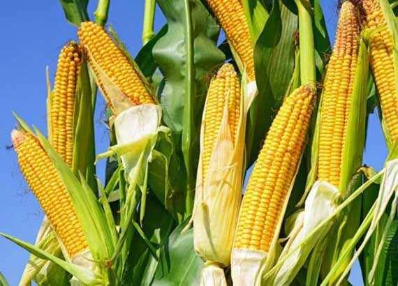 李伟:去年玉米价格大幅下跌导致农民减收千亿元