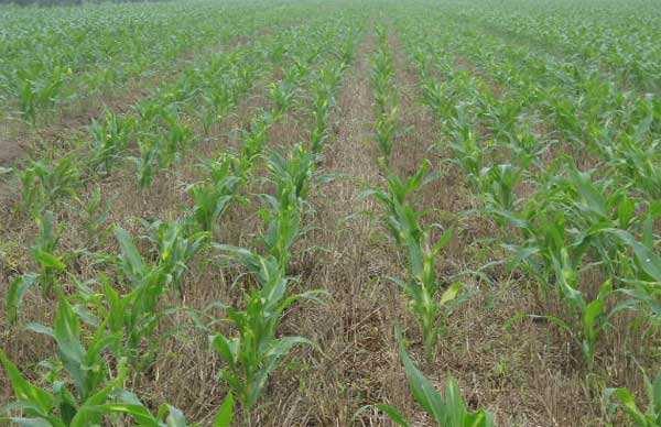 东北地区玉米种植结构调整防范除草剂药害风险技术指导意见.jpg