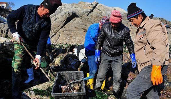 崂山渔民进入捕捞收获季